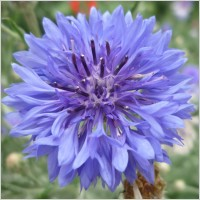 wild_flower_blue_knapweed_215816